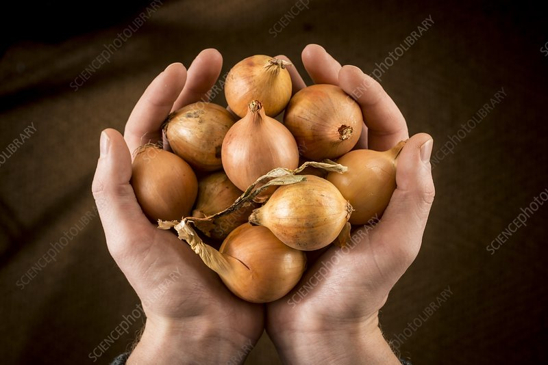 Person holding brown onions
