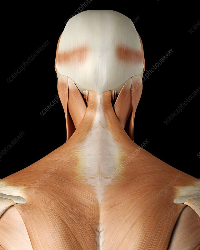 Human neck and back muscles, illustration
