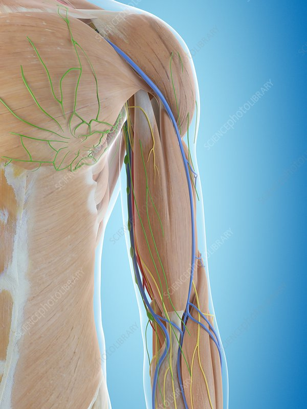 Human shoulder anatomy, illustration