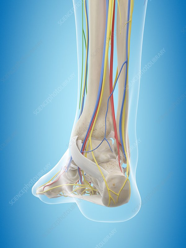 Human foot anatomy, illustration