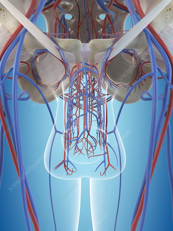 Male vascular system, illustration