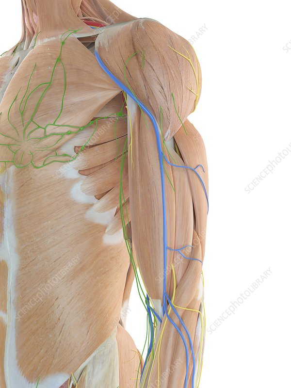 Anatomy of human shoulder, illustration