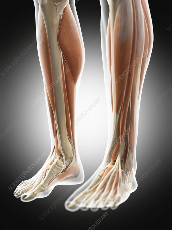 Human leg muscles, illustration