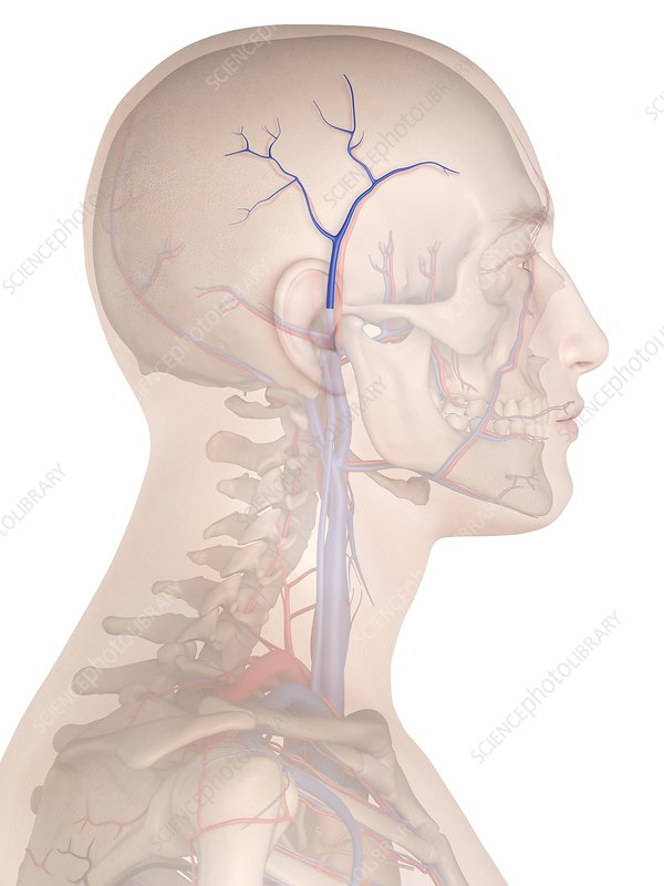 Human veins, illustration