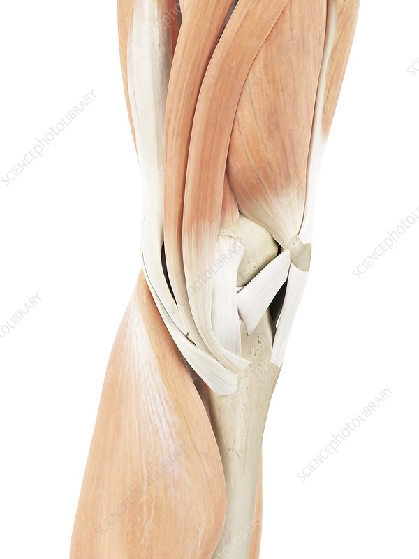 Human knee muscles, illustration