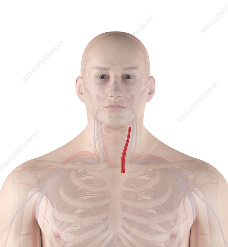 Human neck artery, illustration
