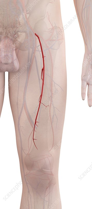 Human leg arteries, illustration