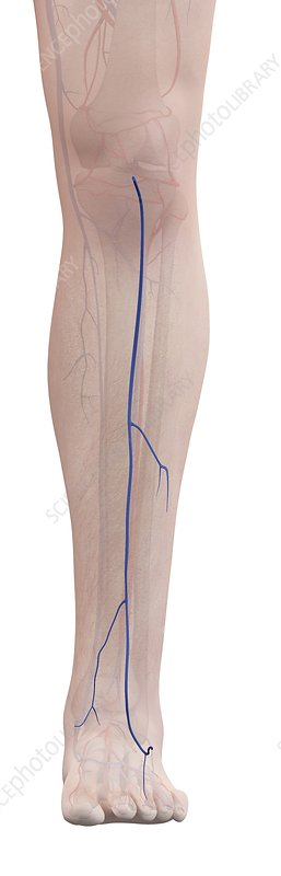 Human leg veins, illustration