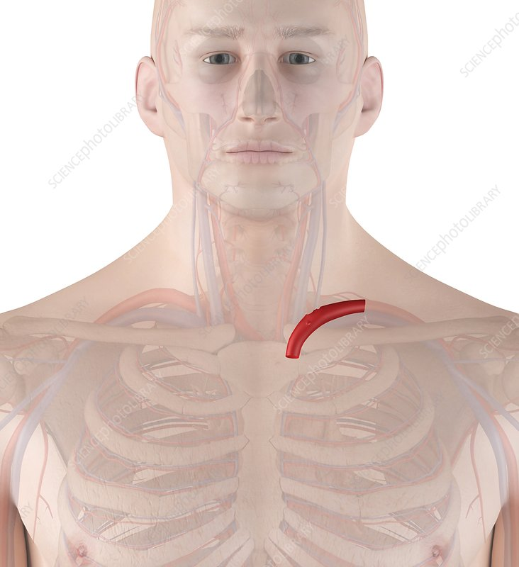 Human artery, illustration