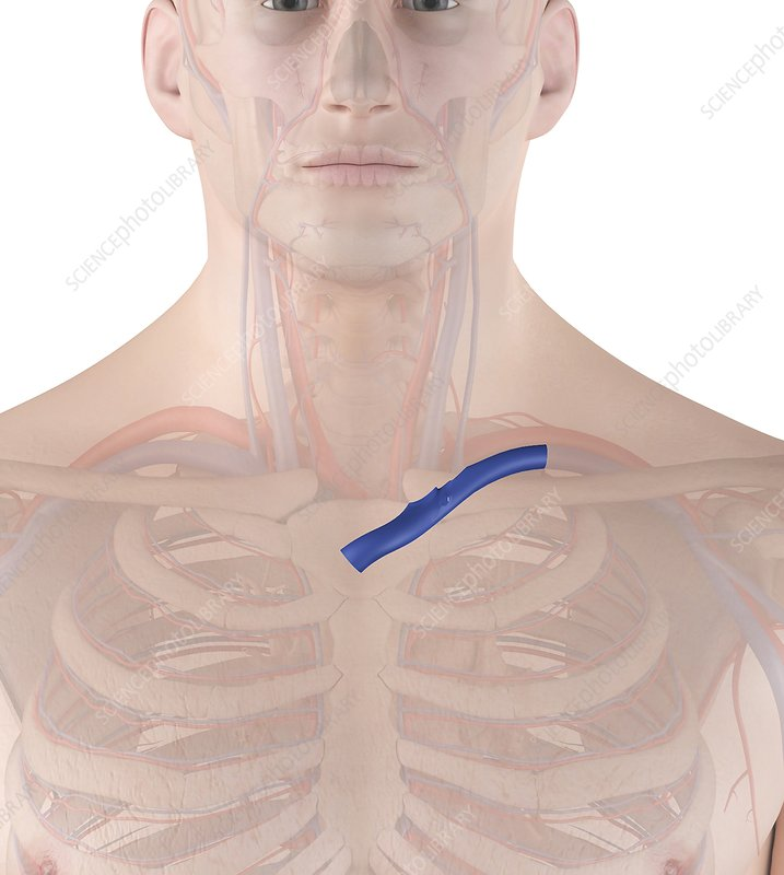 Human vein, illustration