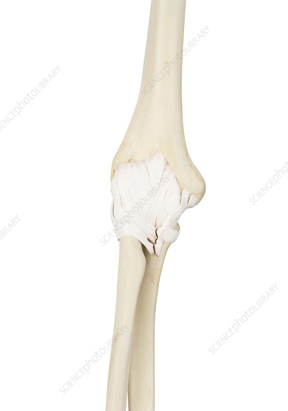 Human elbow joint, illustration