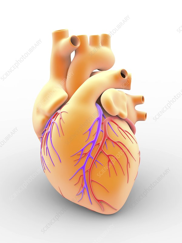 Heart and coronary arteries, artwork