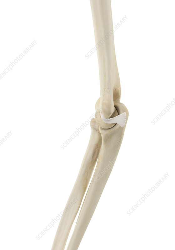 Human elbow, illustration