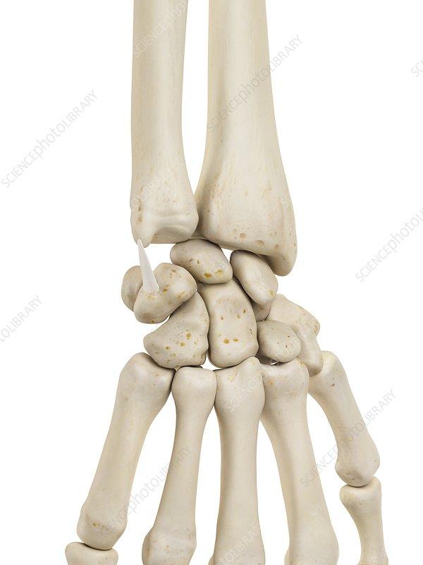 Human wrist bones, illustration