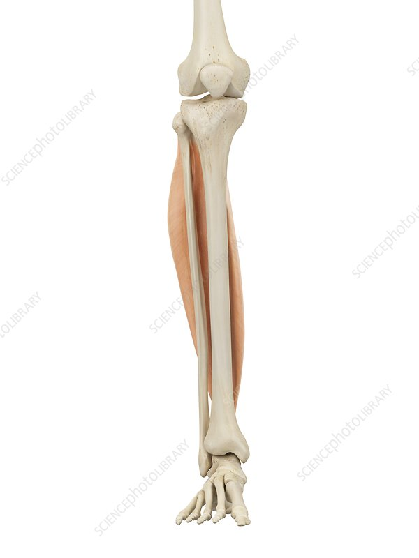Human leg anatomy, illustration