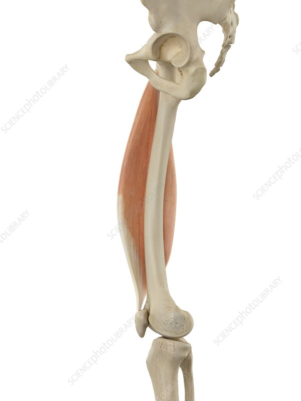 Human leg muscle, illustration