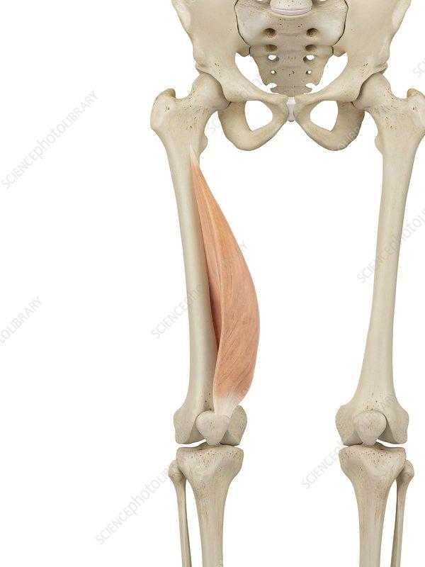 Human leg muscle, illustration