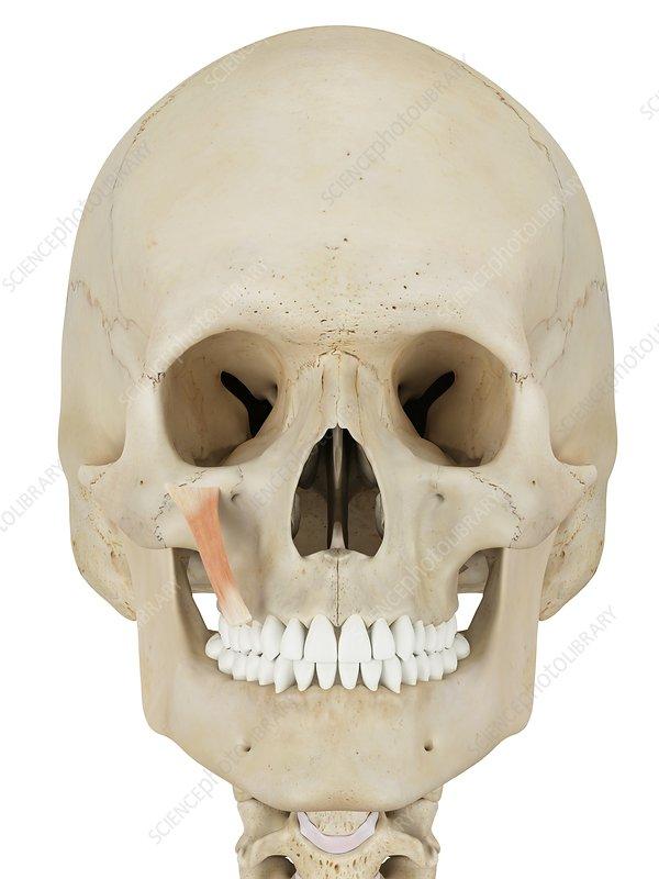 Human facial muscle, illustration