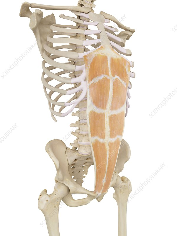 Human abdominal muscles, illustration