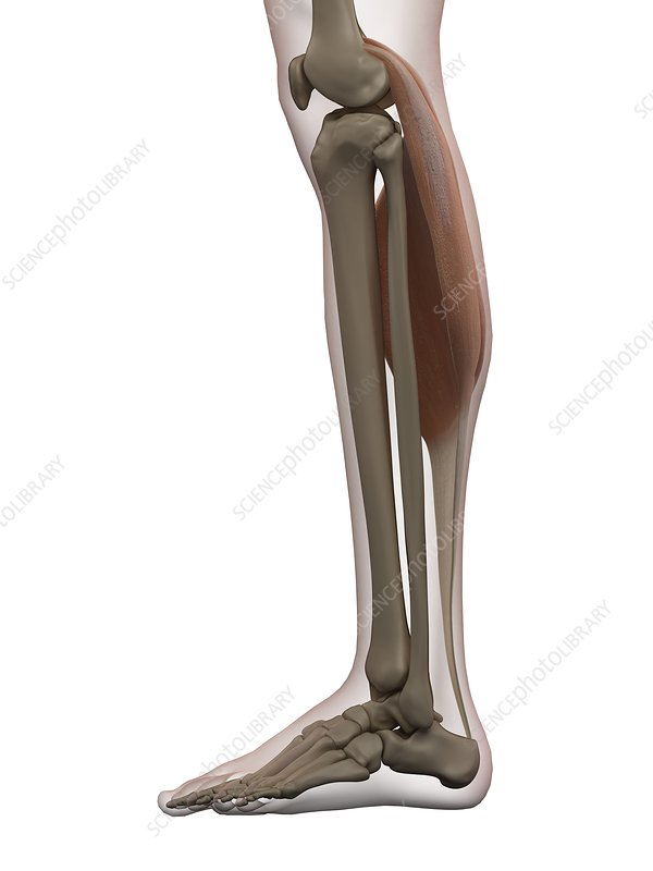Human calf muscle, illustration