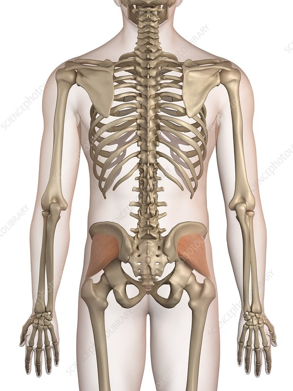 Human hip muscles, illustration