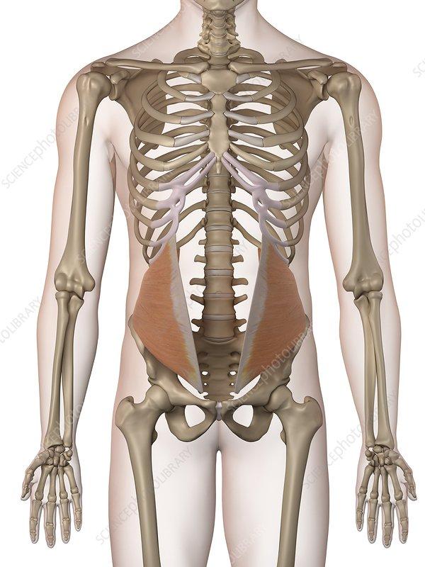 Human Abdominal Muscles Illustration Stock Image F0116755