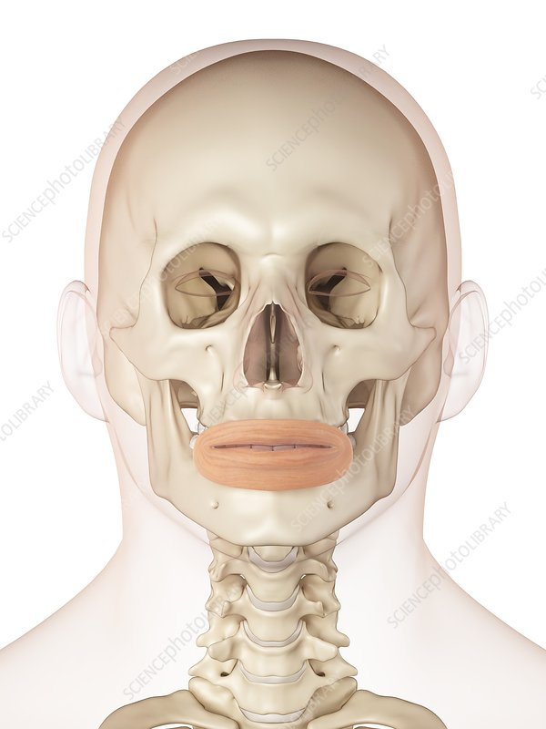 Human facial muscles, illustration