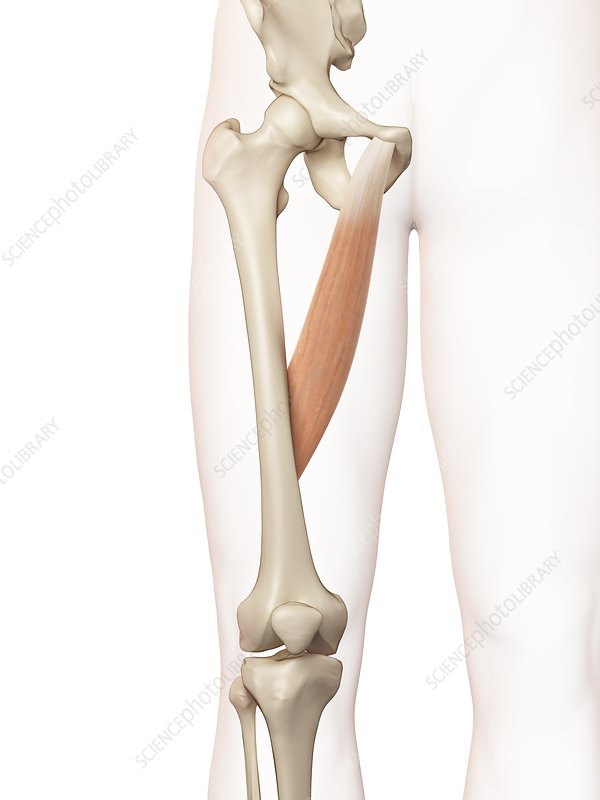 Human thigh muscle, illustration