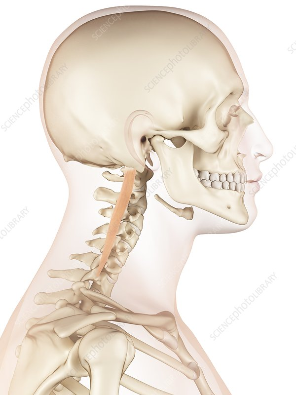 Human neck muscles, illustration