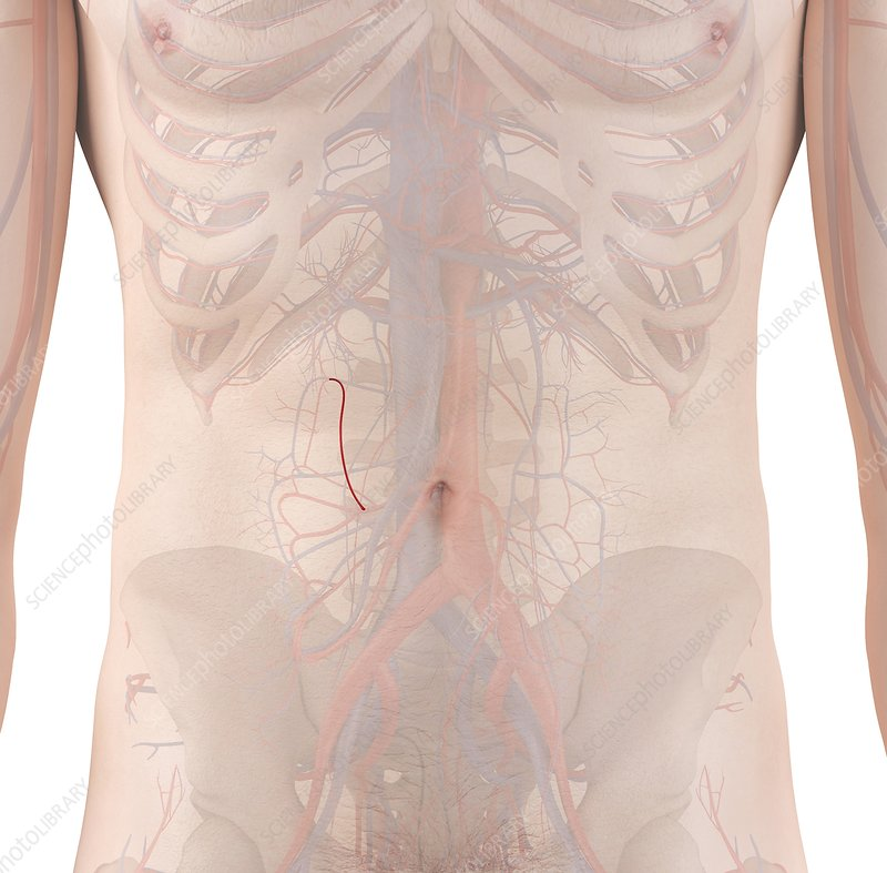 Human arteries, illustration