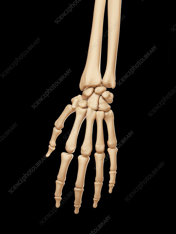 Human hand bones, illustration