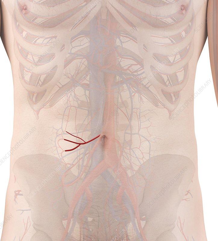 Human arteries, illustration