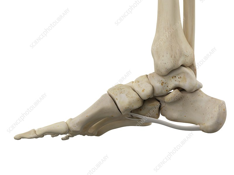 Human foot ligaments, illustration