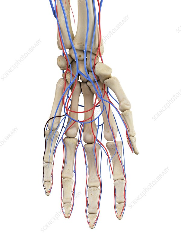 Hand veins and arteries, illustration