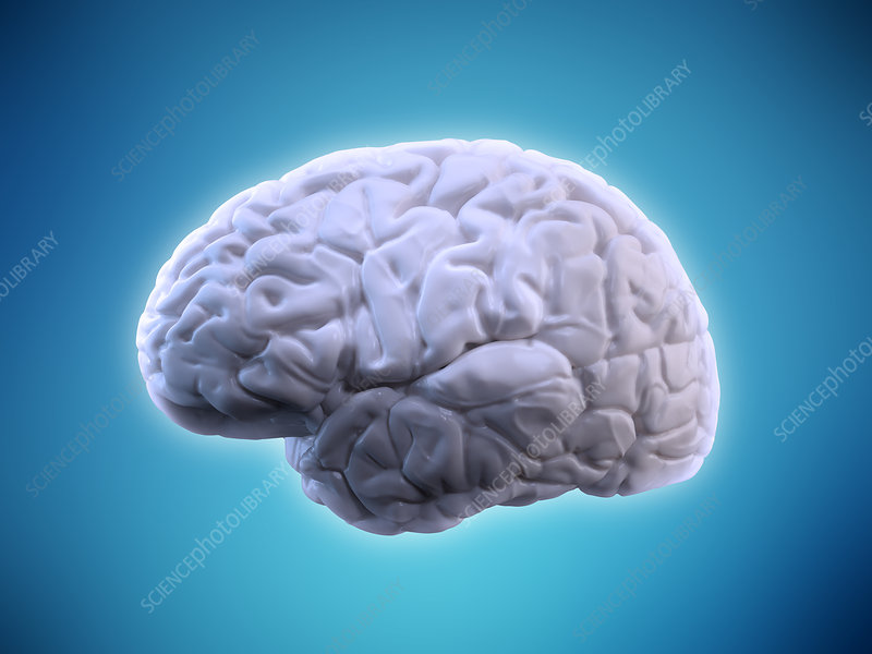 Human brain, illustration