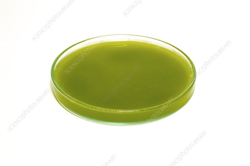 Algae in a petri dish