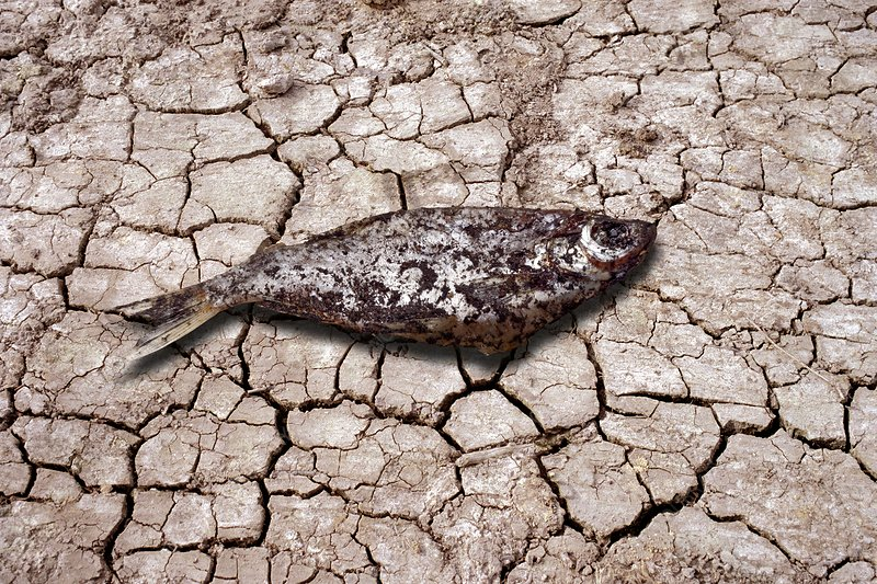 Dead fish on cracked earth