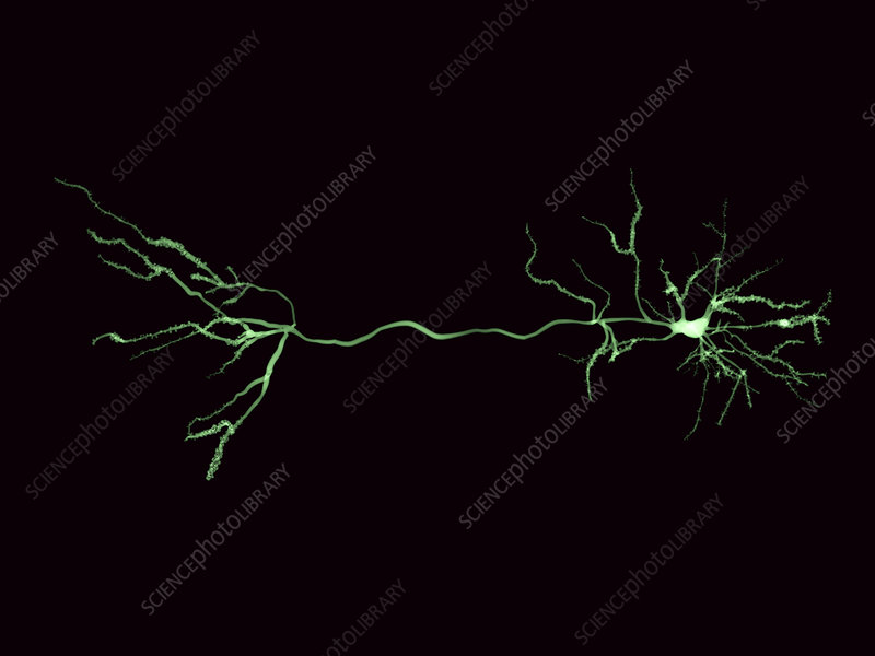 Nerve cells and synapse, illustration