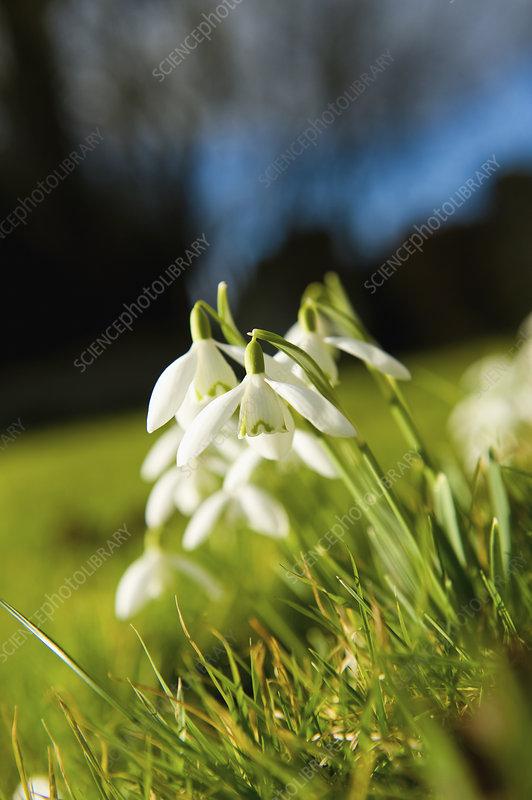 Galanthus Snowdrops
