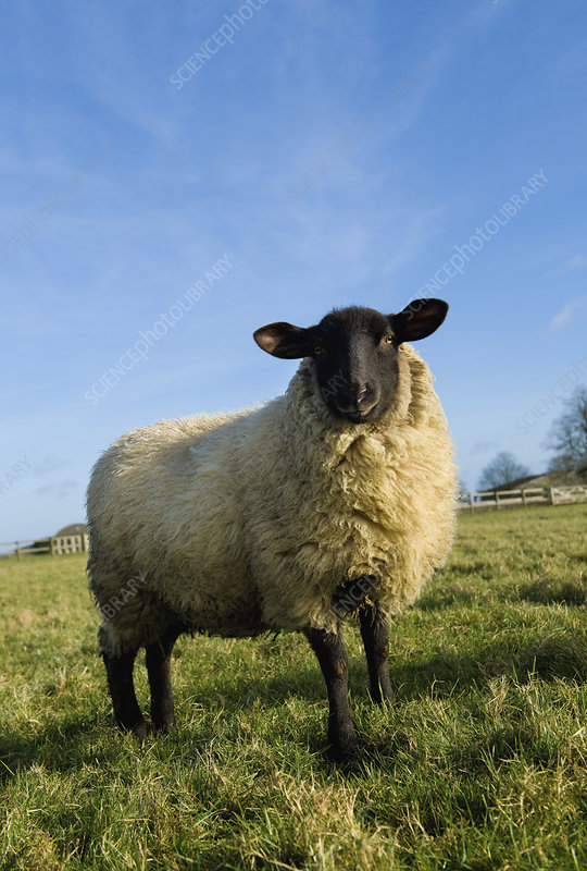 An adult sheep in a field