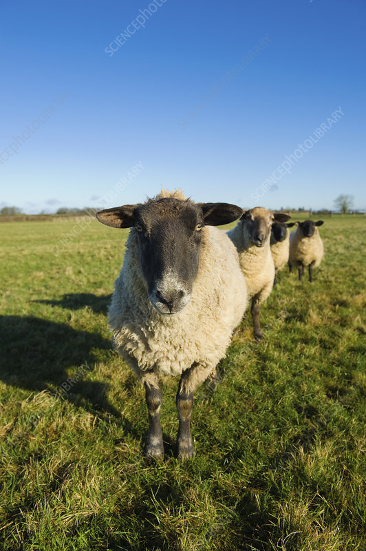 A small flock of sheep in a field