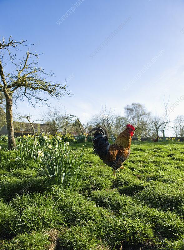 A hen on open ground