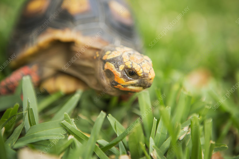 A small turtle or terrapin on grass