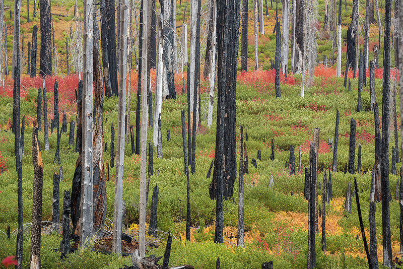Regrowth in a forest after a fire