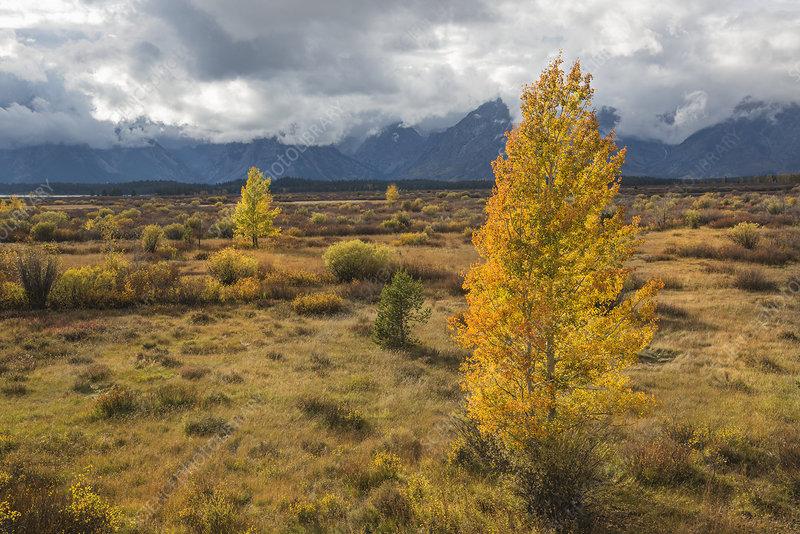 Aspen trees in a mountain landscape