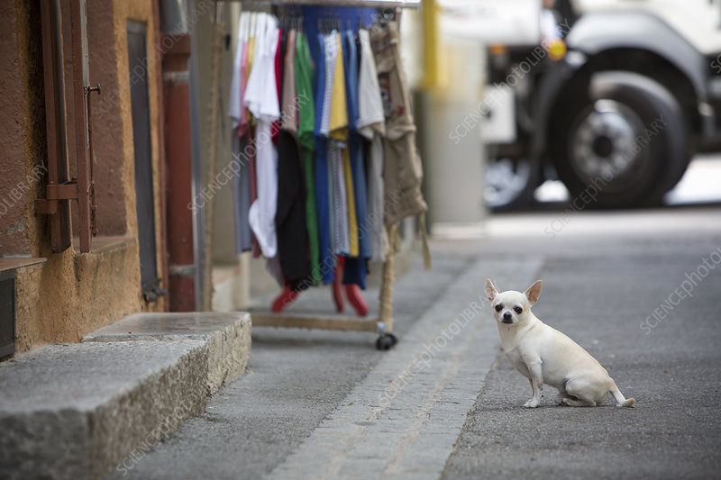 A chihuahua dog sitting on the street