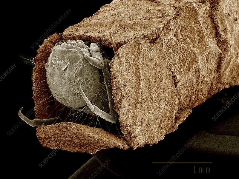 Caddisfly larva in case, SEM