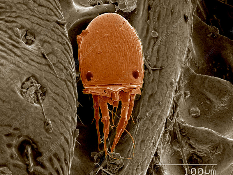 Mite on surface of beetle SEM