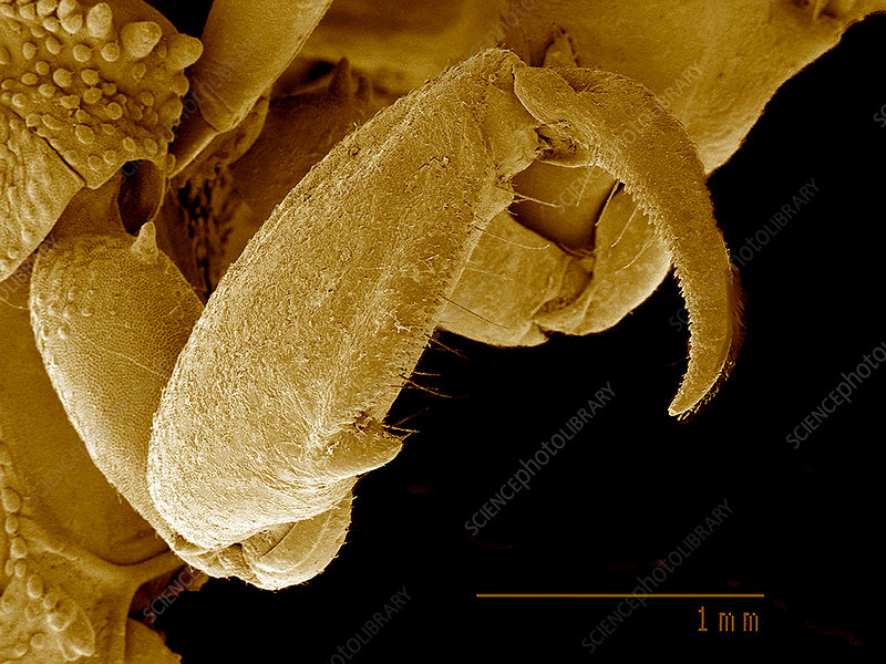 Front leg of Ambush bug SEM