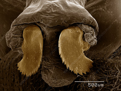 Ovipositor of Periodical Cicada SEM